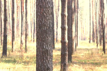Pine forest with beautiful high pine trees against other pines with brown textured pine bark in summer in sunny weather 版權商用圖片