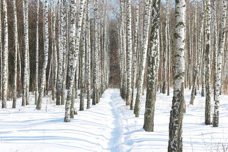 Black and white birch trees with birch bark in birch forest among other birches in winter in snow