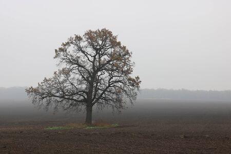 Beautiful landscape with lone unusual tree amongst field in fall in fog 版權商用圖片