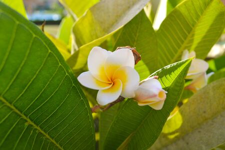 Beautiful bunch of frangipani flowers. Maclo photo shot. Botany wallpaper. White and yellow blooming plumeria on blue sky background. Fresh tropical spa flowers. Asia floral garden. Blurred backdrop