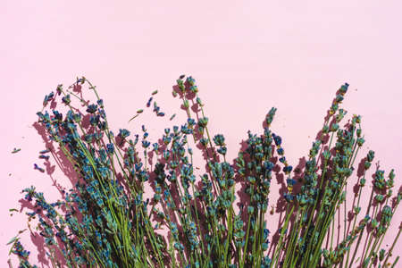 Natural lavender on pink background with copy space. Floral greenery blooming border on sunlight. Spa beauty organic dry flowers aroma calming concept. Evening sleep relax.