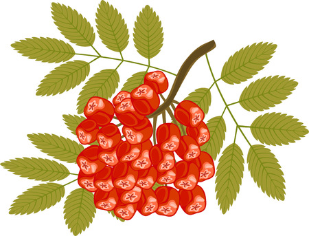 rowanberry: rowanberry vector illustration isolated on white Illustration