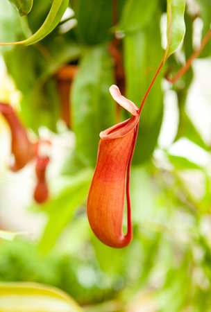 Carnivorous Nepenthes Pitcher Plant Stock Photo
