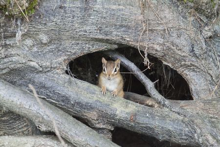 Chipmunk woodland surprise Reklamní fotografie