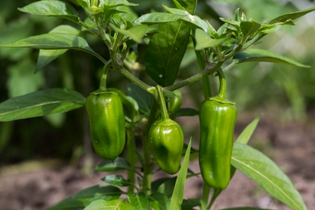 jalapeno pepper:  jalapeno pepper plant  Stock Photo