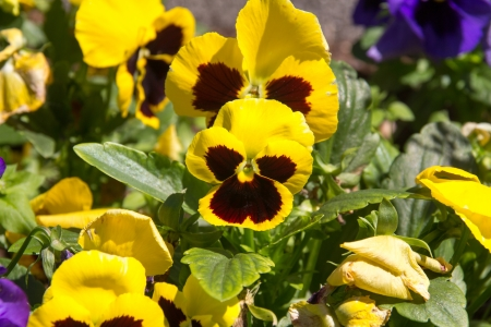 multicolored pansy flower in garden photo