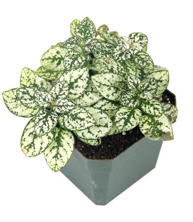 Polka-dot plant hypoestes