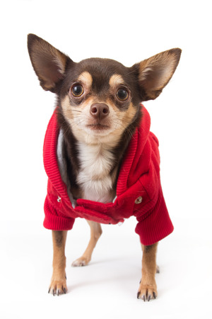 cute chihuahua dog