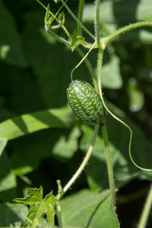 Melothria scabra aka cucamelon