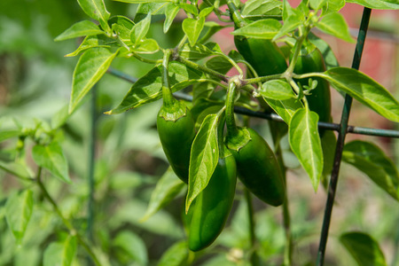 jalapeno pepper: jalapeno pepper plant in garden Stock Photo
