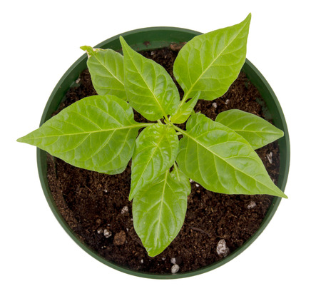 potted plant: habanero pepper potted plant isolated