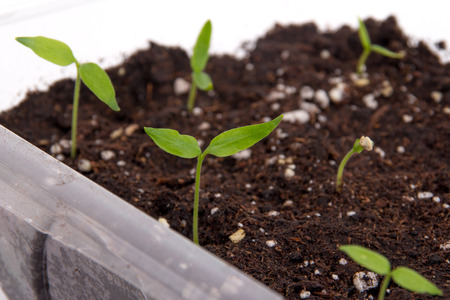 sprouted: Pepper plant sprouted on soil indoor