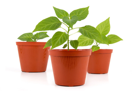 Three Potted hot pepper young plant growing over white background photo
