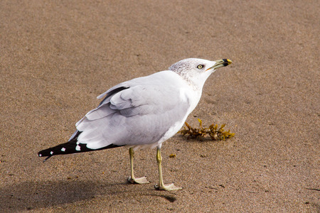 villain seagull on the sand closeup