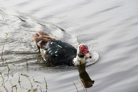 muscovy duck: Muscovy duck Cairina moschata close-up swimming Stock Photo