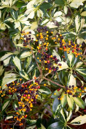 tropical shrub: tropical shrub berry plant