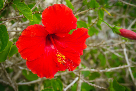 exotism: big red hibiscus flower closeup