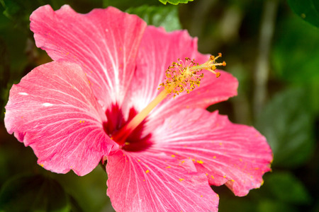 exotism: pink bloom hibiscus flower closeup