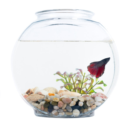 Siamese fighting fish in fish bowl isolated over white background Stock Photo
