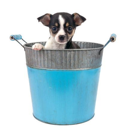 steel bucket: female chihuahua puppy in a steel bucket over white background