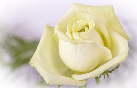 fragility: white yellow rose flower closeup Stock Photo