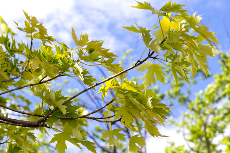 silver maple: silver maple tree leaves closeup in front of the sky Stock Photo