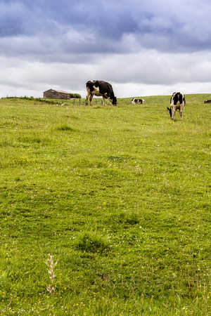 ruminate: Holstein cows in the pasture landscape cloudy day Quebec Canada