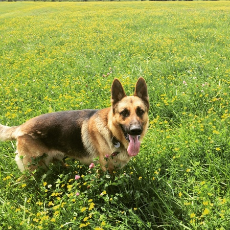 German sheppard purebreed dod in the pasture