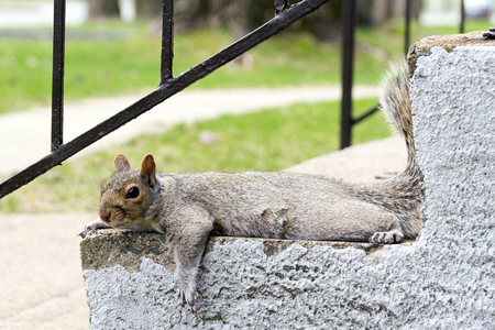 grey squirrel outdoor resting on stairs Stock Photo