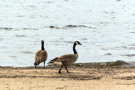 two barnacles gooses walking on the sand Stock Photo