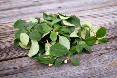 Gaultheria procumbens, also called the eastern teaberry
