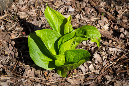 Eastern skunk cabbage Symplocarpus foetidus plant in the forest Quebec Canada Banco de Imagens