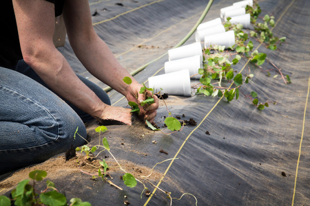 Farm worker preparing and transplanting organic new cubios plants using a black plastic  Tropaeolum tuberosum Banco de Imagens