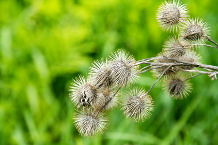 dried up Thistle plant background