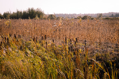Typha latifolia cattail at fall landscape Stock Photo - 109807221