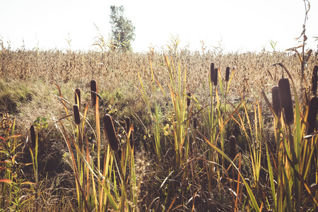 Typha latifolia cattail at fall landscape Stock Photo - 109807225