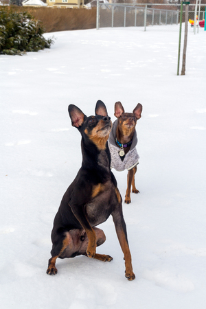 Pinscher dog playing outside in winter time Banco de Imagens