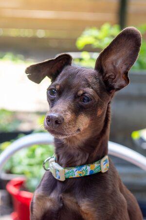 friendly brown pisncher dog portrait