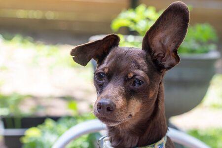 brown pisncher dog portrait expression sadness Banco de Imagens