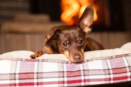 adorable brown pinscher rest in the house side to the fireplace 版權商用圖片