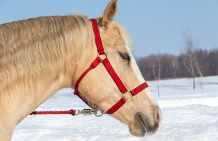 portrait palomino male horse outside in winter