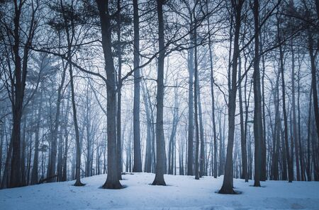 Dramatic forest trees at winter dawn right before sunrise in Sorel-Tracy Quebec Canada