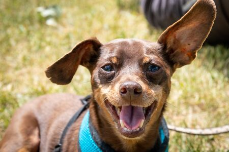 11 years old male brown minature pinscher breed expressing happiness portrait outdoor
