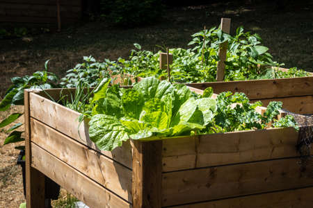 huge cabbage in a raised bed box garden in the backyard with kale and peppers at daytime sunlight