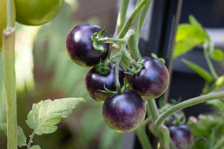 indigo rose cherry tomato growing on plant vine in the vegetable garden Imagens