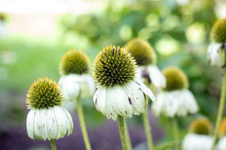 white Echinacea coneflower white swan herbaceous flowering plants in the daisy family at fall morning
