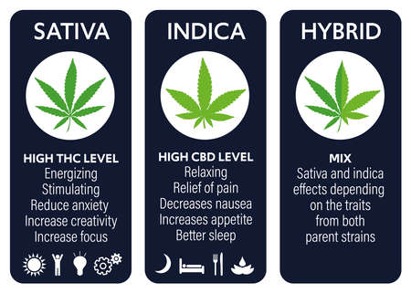 cannabis indica and sativa strains species information graphic guide Ilustração