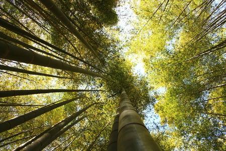 嵐山竹林で竹の木