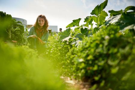 Vrouwelijke tuinman neigt naar biologische gewassen en het oppakken van een overvloedige mand vol verse producten Stockfoto
