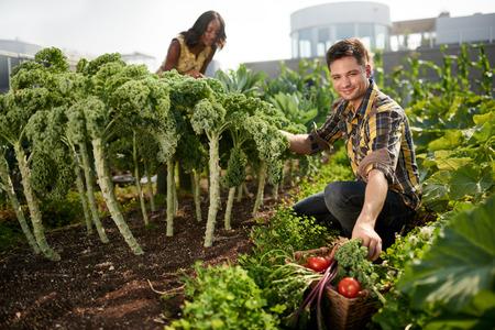 Gardeners neigt naar biologische gewassen en het oppakken van verse boerenkool uit hun kleine zakelijke daktuin
